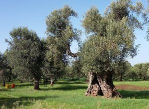 Volunteer for an Olive Farm in Puglia
