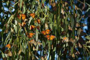 This Little California Beach Town Is the Best Place to See the Great Monarch Butterfly Migration —but They Need Your Help